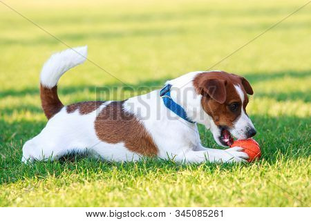 Dog Breed Jack Russell Terrier On The Green Grass With A Rubber Ball