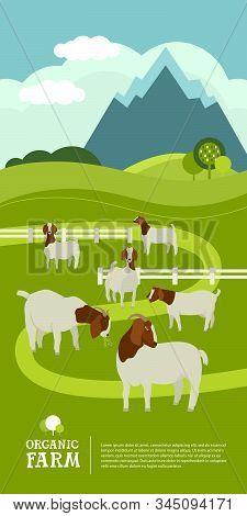 Farming Today Organic Farm A Herd Of Boer Goats Grazes In The Green Meadow Cartoon Flat Vector Illus