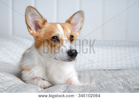 Cute Ginger And White Dog Of Welsh Corgi Pembroke Breed, Lying On White Cover On The Bed Or Sofa. Ad