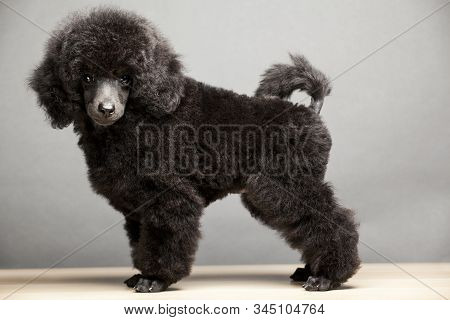 Black Dog Portrait Table Background Studio Light Adorable, Adult, Animal, Animal Themes, Artistic, B