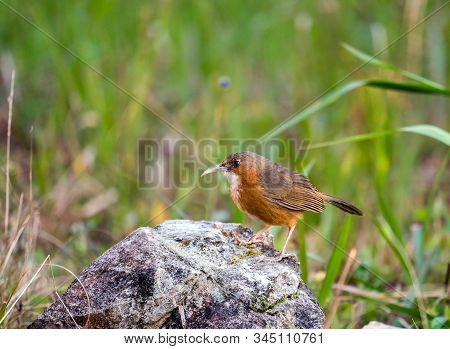 Rusty-cheeked Scimitar Babbler Stand On The Rock In The Forest