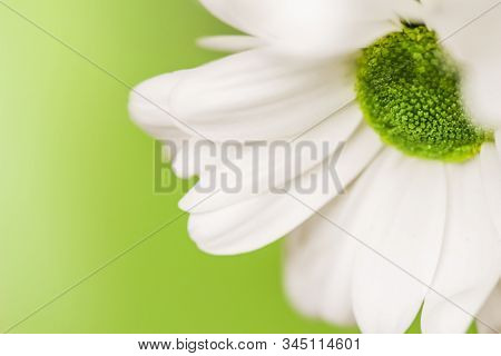 Soft Focus, Retro Art, Vintage Card And Botanical Concept - Abstract Floral Background, White Chrysa