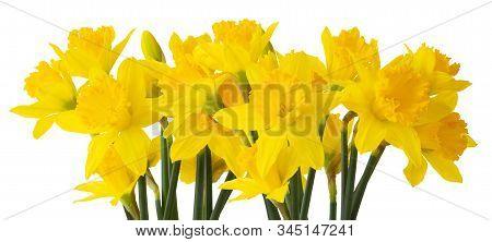 Panorama Of Beautiful Narcissus (daffodil, Narzisse, Amaryllidaceae) Isolated On White Background. G