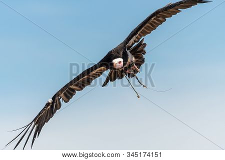 Close Up Of An African Hooded Vulture (necrosyrtes Monachus) Flying In A Falconry Demonstration