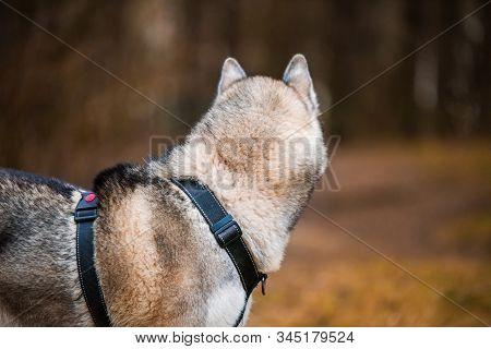 Husky Dog Close Up Back Portrait On Nature