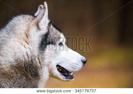 Husky Dog Close Up Muzzle Profile Portrait On Nature