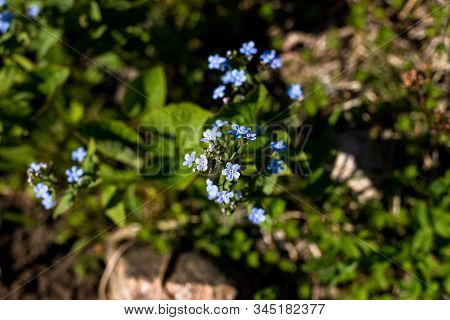 Bright Bunches Of Blue Flower. Pretty Blue Forget-me-not On Sunny Day.little Flowers On Spring Meado