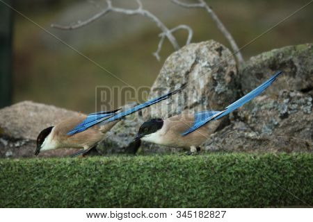 Two Iberian Magpies (cyanopica Cooki) Siting On The Green Grass With Stones In Background. The Iberi