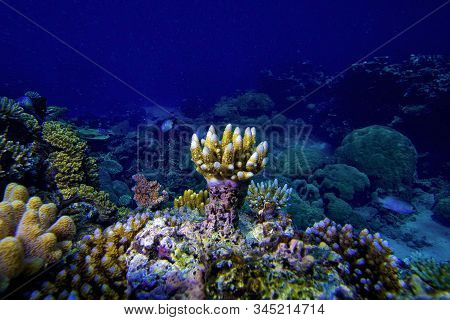 Underwater View Of Coral Reef And Small Fish With Blue Water Background, Great Barrier Reef, Austral