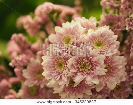 Pink Chrysanthemum Flower, Gerbera Beautiful Bouquet, Barberton Daisy Flower On Burred Of Nature Bac