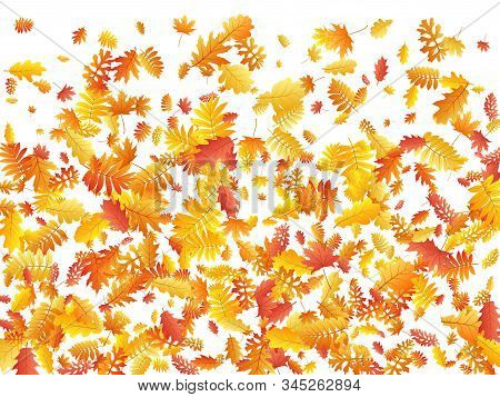 Oak, Maple, Wild Ash Rowan Leaves Vector, Autumn Foliage On White Background. Red Gold Yellow Ash An