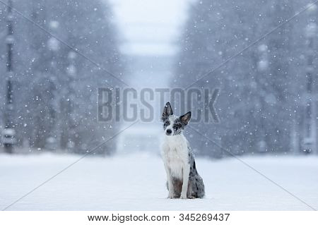 Dog In The Snow In Winter. Portrait Of A Border Collie In Nature Park