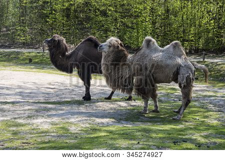 Bactrian Camels, Camelus Bactrianus Is A Large, Even-toed Ungulate Native To The Steppes Of Central