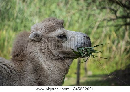 Bactrian Camel Eating, Camelus Bactrianus Is A Large, Even-toed Ungulate Native To The Steppes Of Ce