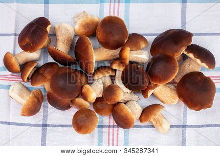 Fresh And Raw Porcini Mushrooms On Kitchen Towel, Mushrooming Boletus Edulis, Topview