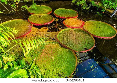 Pond With A Victoria Longwood Water Lilly, Cultivar Of Amazonica And Cruziana, Popular Tropical Wate