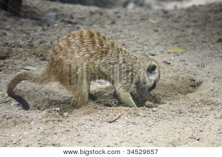 meercat dig the hole