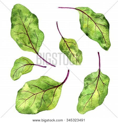 Watercolor Drawing Green Leaves Of Beet Isolated At White Background, Beet Greens, Vegan Product, In