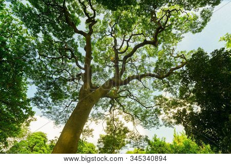 A Beautiful Large Tree With Green Leaves In The Morning, Kolkata, West Bengal, India