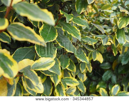 Ficus Elastica In Summer Closeup, Green Tropical Background, Houseplant Fig Ficus Rubber Elastica Tr
