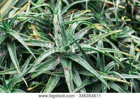 Green Agave Leaves With Thorn Background. Green Thorned Agave Close-up