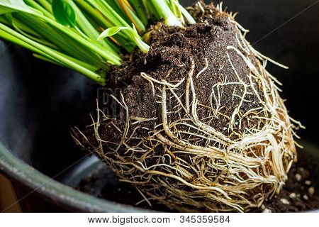 The Root System Of The Houseplant Spathiphyllym,which Must Be Divided,pruned And Transplanted Into A
