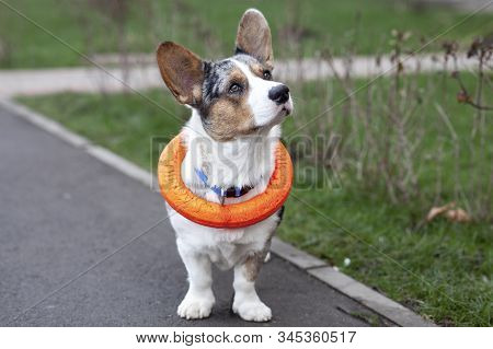 Young Adorable Dog Of Welsh Corgi Cardigan Breed, Merle Color, With Bright Orange Puller Toy, Put On