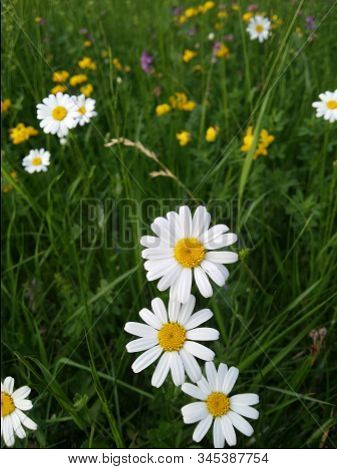 Flower Medicinal Plant: Leucanthemum Vulgare, Marguerite, Ox-eye Daisy, Oxeye Daisy, Dog Daisy