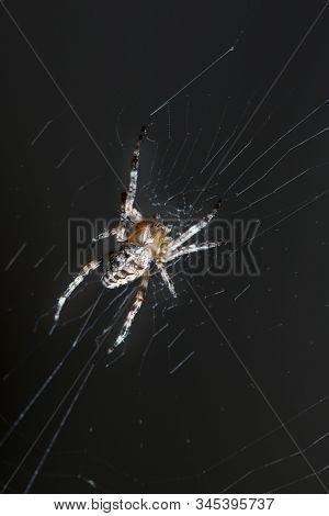 Spider on a web close-up on a black background. Arachnophobia.