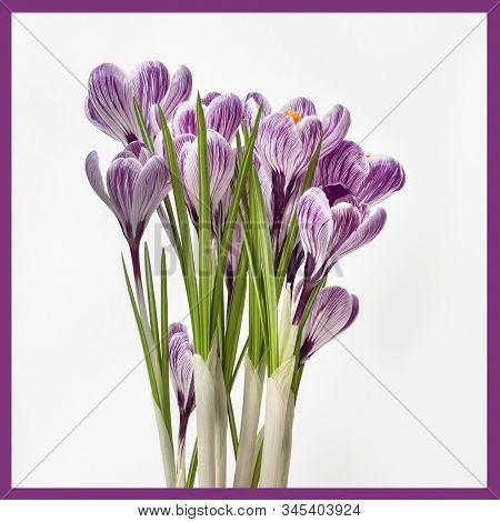 Bouquet Of Blossom Crocus Flowers Purple Colors With Frame. Greeting Card Spring Holidays, 8 March,