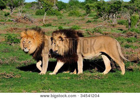 Two Kalahari Lions, Panthera Leo, In The Addo Elephant National Park