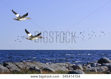 A Flock Of Goosanders Fly Along The Coast. Rock And Cliffs This Side The Sea.