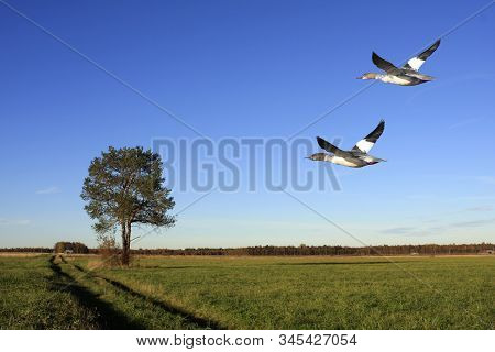 A Couple Of Goosanders Fly Across A Plain. Farmland During The Autumn, Wood In The Background.