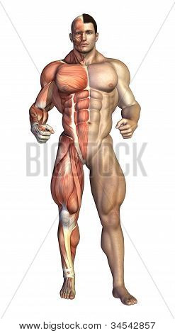 Bodybuilder Muscles Revealed