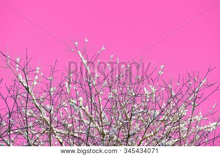 Snow Covered Tree Branches Against The Backdrop Of An Unreal Pink Sky. Abstract Natural Background