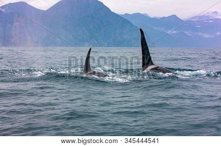 The Pair Of Transient Killer Whales Travel Through The Waters Of Avacha Bay, Kamchatka