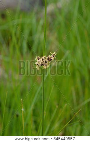 Sea Clubrush Flower - Latin Name - Bolboschoenus Maritimus (scirpus Maritimus)
