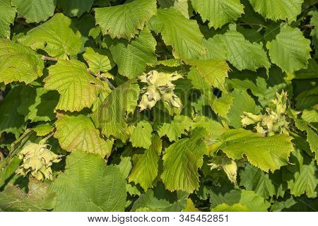 Hazelnut Garden. Hazelnuts In A Green Shell On The Branches In Hand. Fruits And Flowers