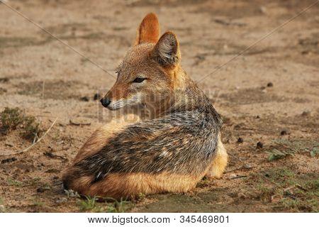 The Black-backed Jackal (canis Mesomelas) In Kalahari Desert In Morning Sun. The Black-backed Jackal
