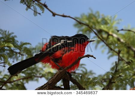 The Crimson-breasted Shrike (laniarius Atrococcineus)  Sitting On The Branch. Green Trees And Blue S