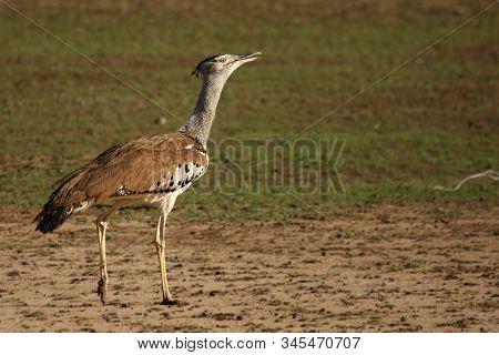 The Kori Bustard (ardeotis Kori) Walking On Red Hot Sand In Kalahari Desert With Green Background. E