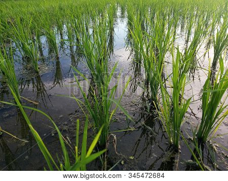 Young Little Paddy Grow In Closeup. Neatly Planted Young Fresh Green Rice Plant In Paddy Field