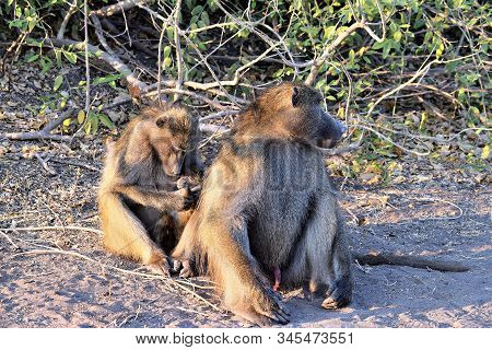 A Group Of Baboons Grooming Themselves In Chobe National Park