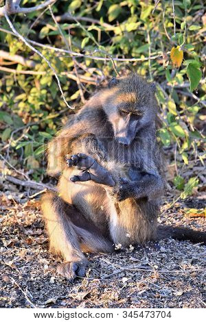 A Baboon Grooming Himself Sitting On The Banks Of The Chobe River