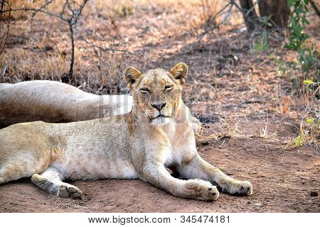 Sleepy Lioness Early In The Day In Chobe National Park