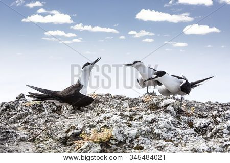 Three Sooty Tern Birds, Onychoprion Fuscatus Seabird, Standing On A Rock, Selective Focus View Again