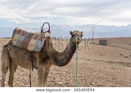 Dromedary Camel On Agafay Desert , Marrakech, Morocco