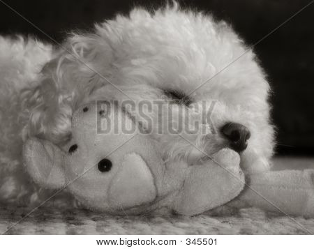 Toy Poodle Sepia