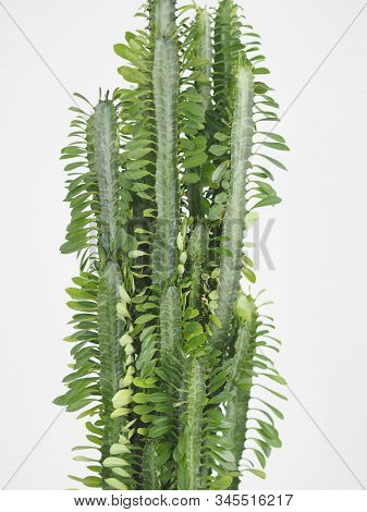 The Popular Name Is Euphorbia Triangular Prickly. Benefit And Harm. Cactus Spurge. Tropical Flower.