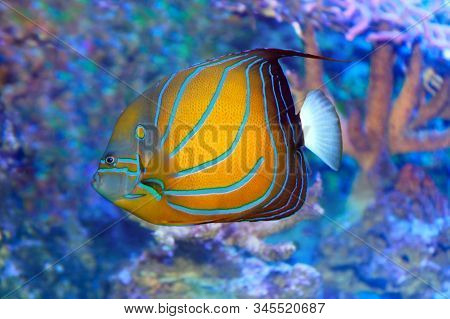 Blue Ringed Angelfish Pomacanthus Annularis At Coral Reef In Sea Water.